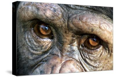 Chimpanzee, Close-Up of Eyes--Stretched Canvas Print