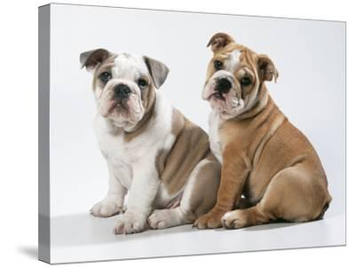 Two BullPuppies, Sitting, Studio Shot--Stretched Canvas Print
