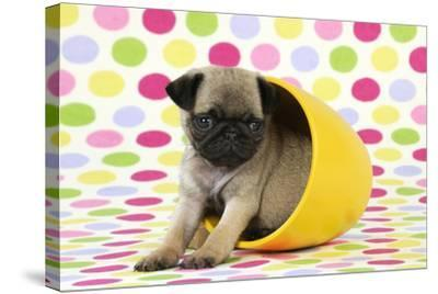 Pug Puppy (6 Wks Old) in a Yellow Pot--Stretched Canvas Print