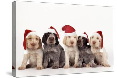 Spinone Dog Puppies Wearing Christmas Hats--Stretched Canvas Print