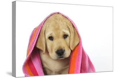 Labrador (8 Week Old Pup) with Towel--Stretched Canvas Print
