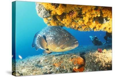 Grouper by Coral with Scuba Diver--Stretched Canvas Print