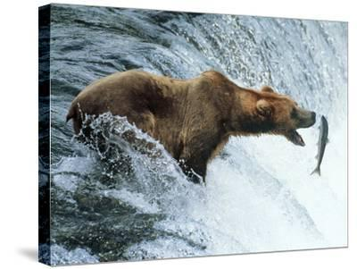 Brown Bear Catching a Fish--Stretched Canvas Print