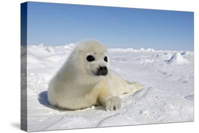 Harp Seal Pup--Stretched Canvas Print