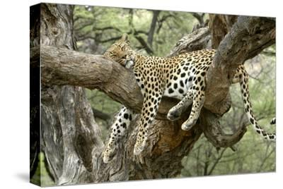 Leopard Resting in Tree--Stretched Canvas Print