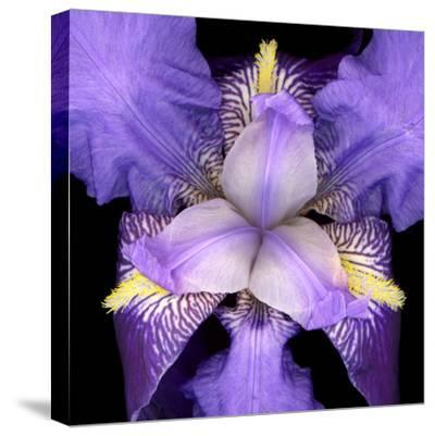 Iris Flower--Stretched Canvas Print