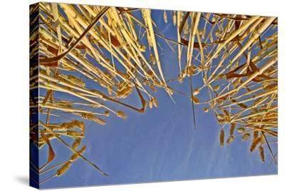 Wheat Field Ripe Ears of Wheat Against Blue Sky--Stretched Canvas Print