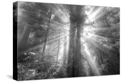 God Beams and The Redwoods (Black and White)-Vincent James-Stretched Canvas Print