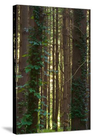 Treetrunks in Cataract Falls State Park forest, Indiana, USA-Anna Miller-Stretched Canvas Print