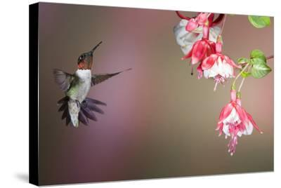 Ruby-Throated Hummingbird Male at Fuschia, Marion, Illinois, Usa-Richard ans Susan Day-Stretched Canvas Print