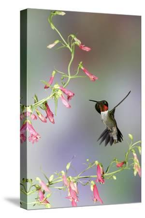 Ruby-Throated Hummingbird at Prairie Fire Penstemon, Illinois, Usa-Richard ans Susan Day-Stretched Canvas Print