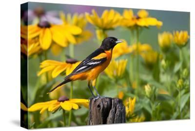 Baltimore Oriole on Post with Black-Eyed Susans, Marion, Illinois, Usa-Richard ans Susan Day-Stretched Canvas Print