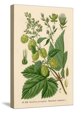 Plants, Humulus Lupulus--Stretched Canvas Print