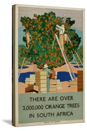 Orange Trees in South Africa, from the Series 'Summer's Oranges from South Africa'-Guy Kortright-Stretched Canvas Print