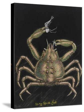 Spiny Spider Crab-Philip Henry Gosse-Stretched Canvas Print