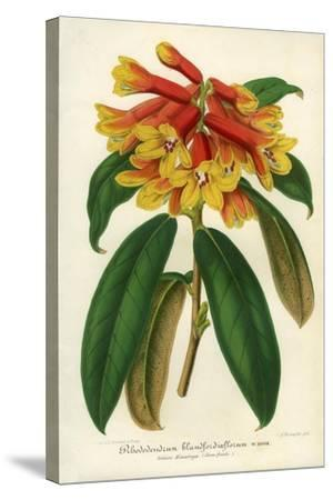 Orange Yellow Rhododendron--Stretched Canvas Print