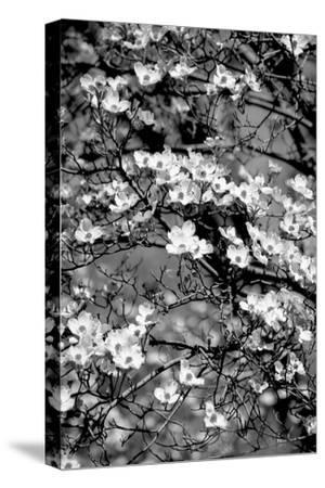 Dogwood Branch 2-Jeff Pica-Stretched Canvas Print