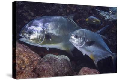 Pair of Permit (Trachinotus Falcatus)-Stephen Frink-Stretched Canvas Print
