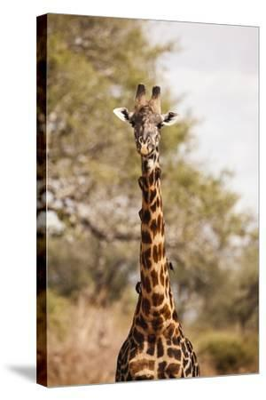 Endemic Thornicroft Giraffe-Michele Westmorland-Stretched Canvas Print