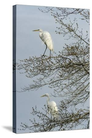 Egret-Gary Carter-Stretched Canvas Print