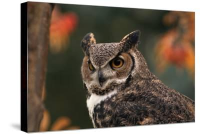 Great Horned Owl with Blurred Autumn Foliage-W^ Perry Conway-Stretched Canvas Print