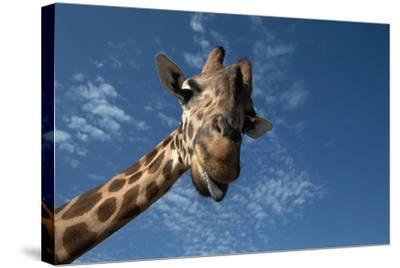 Giraffe-Rick Doyle-Stretched Canvas Print