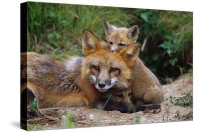 Mother Red Fox and Pups-W^ Perry Conway-Stretched Canvas Print