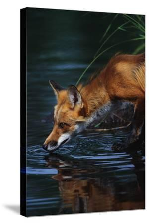 Red Fox Drinking Water-W^ Perry Conway-Stretched Canvas Print
