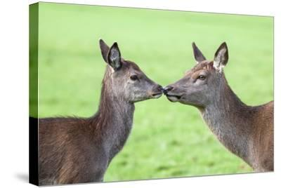 Red Deer Hind with Young (Cervus Elaphus), Arran, Scotland, United Kingdom, Europe-Ann and Steve Toon-Stretched Canvas Print