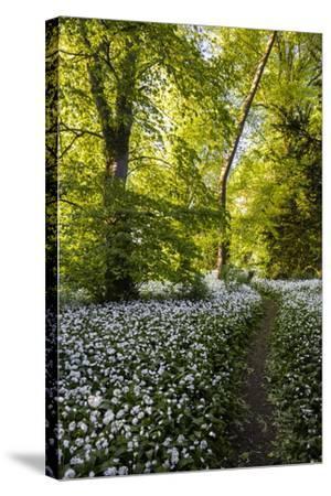 Flowers in a Woods Near Badbury Hill, Oxford, Oxfordshire, England, United Kingdom, Europe-Matthew Williams-Ellis-Stretched Canvas Print