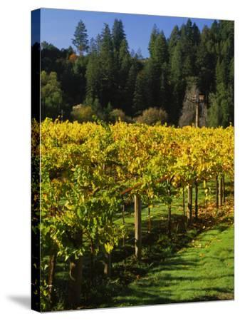 Vineyard, Russian River Valley, Sonoma, California, USA--Stretched Canvas Print