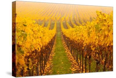Vine Crop in a Vineyard, Riquewihr, Alsace, France--Stretched Canvas Print