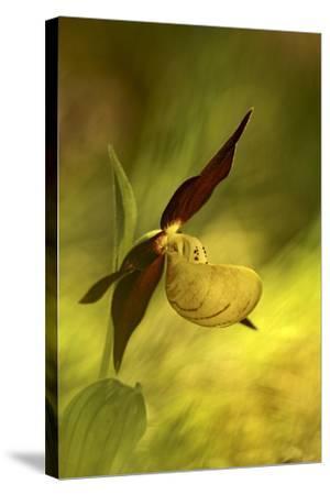 Italy, Friuli Venezia Giulia , Lady's Slipper (Slipper Orchid)-Cristiana Damiano-Stretched Canvas Print