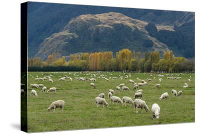 Sheep Graze in a Pasture in Mount Aspiring National Park-Michael Melford-Stretched Canvas Print