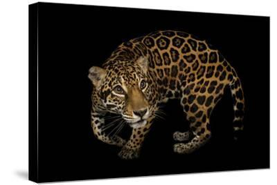 A Federally Endangered, Ten-Year-Old, Female Jaguar at the Dallas World Aquarium-Joel Sartore-Stretched Canvas Print