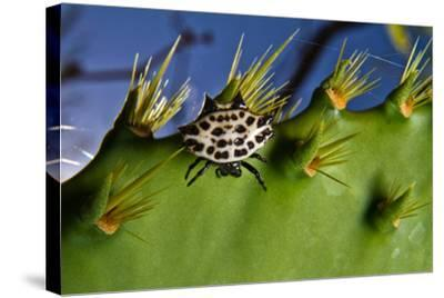 A Spinybacked Black and White Orb Weaver Spider on the Thorns of a Prickly Pear Cactus-Karine Aigner-Stretched Canvas Print