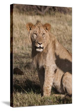 Portrait of a Male Lion, Panthera Leo, Looking at the Camera-Sergio Pitamitz-Stretched Canvas Print