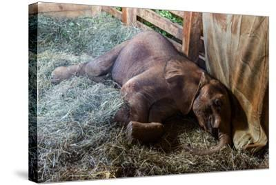 An Orphaned African Elephant Calf Sleeping in a Bed of Straw in Wildlife Shelter Barn-Jason Edwards-Stretched Canvas Print