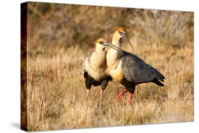 Black-Faced Ibis, Theristicus Melanopis, with a Chick, Eating-Tom Murphy-Stretched Canvas Print