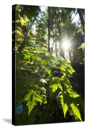 Large Leaves of a Devil's Club, Oplopanax Horridus, Growing in a Temperate Rainforest-Jonathan Kingston-Stretched Canvas Print