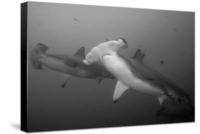 Three Scalloped Hammerhead Sharks, Sphyrna Lewini, Swimming Among Smaller Fish-Jeff Wildermuth-Stretched Canvas Print