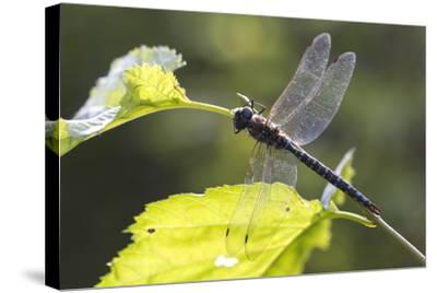 A Common Hawker Dragonfly at Rest on a Leaf Stem at Bartlett Cove-Matthias Breiter-Stretched Canvas Print