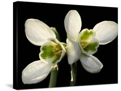 Close Up of Two Snowdrop Flowers, Galanthus Species-Darlyne A^ Murawski-Stretched Canvas Print