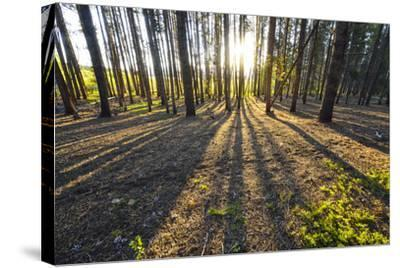 Sunlight Shining Through a Pine Forest-Keith Ladzinski-Stretched Canvas Print