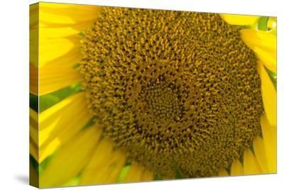 Close Up of a Sunflower, Helianthus Petiolaris-Stephen Alvarez-Stretched Canvas Print
