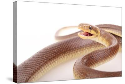 An Aesculapian Snake in a Defense Posture-Joe Petersburger-Stretched Canvas Print