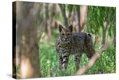 Portrait of a Wild Bobcat, Lynx Rufus-Karine Aigner-Stretched Canvas Print
