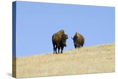 Two American Bison, Bison Bison, on the Top of an Hill-Sergio Pitamitz-Stretched Canvas Print