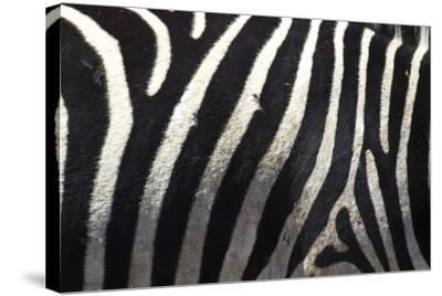 The Flank of a Zebra Showing its Stripes-Michael Melford-Stretched Canvas Print