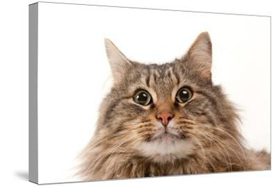 A Studio Portrait of a Domestic House Cat Named Rocket-Joel Sartore-Stretched Canvas Print